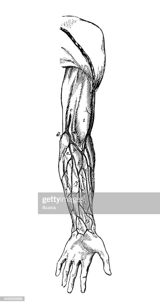 Antique Illustration Of Human Body Anatomy Arm Veins Stock ...