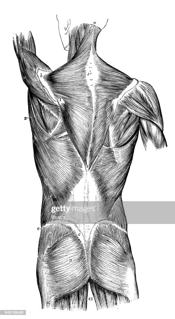 Antique Illustration Of Human Body Anatomy Back Muscles Stock