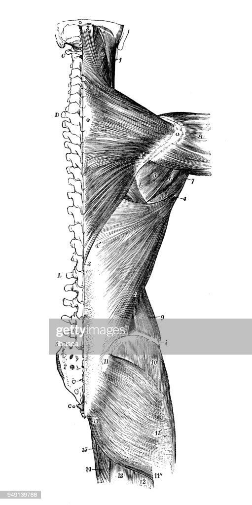 Antique Illustration Of Human Body Anatomy Back Muscles Stock ...