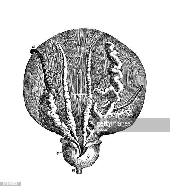 antique illustration of human body anatomy: bladder, prostate - prostate gland stock illustrations, clip art, cartoons, & icons