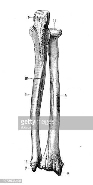 antique illustration of human body anatomy bones: radius and ulna - forearm stock illustrations, clip art, cartoons, & icons