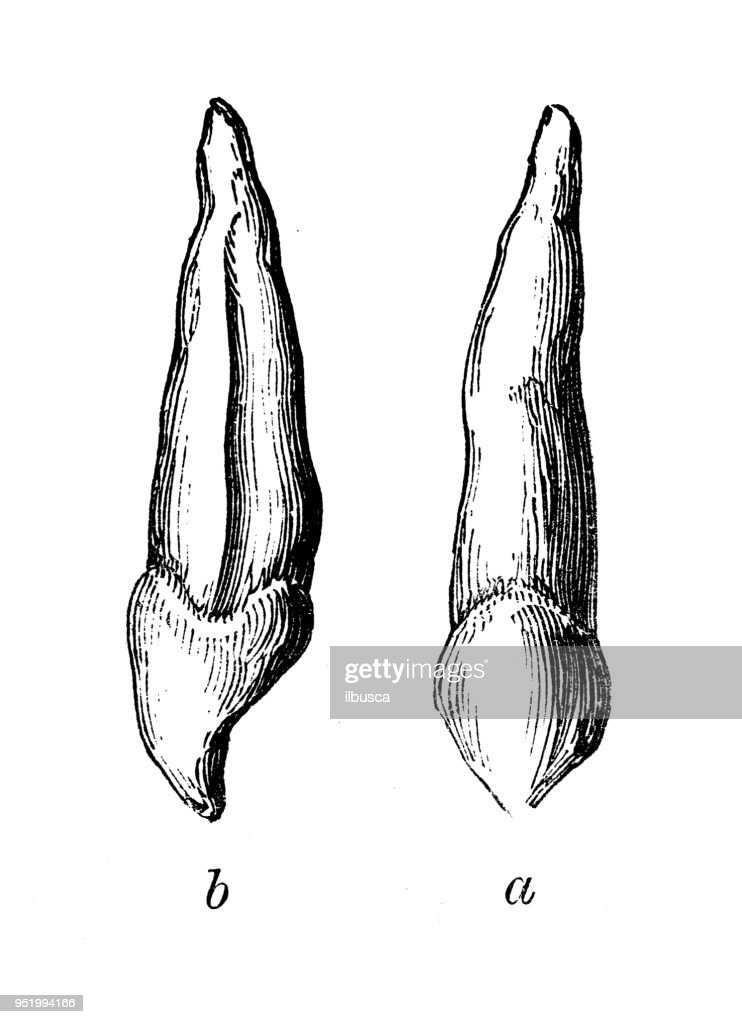 Antique Illustration Of Human Body Anatomy Canine Teeth Stock ...