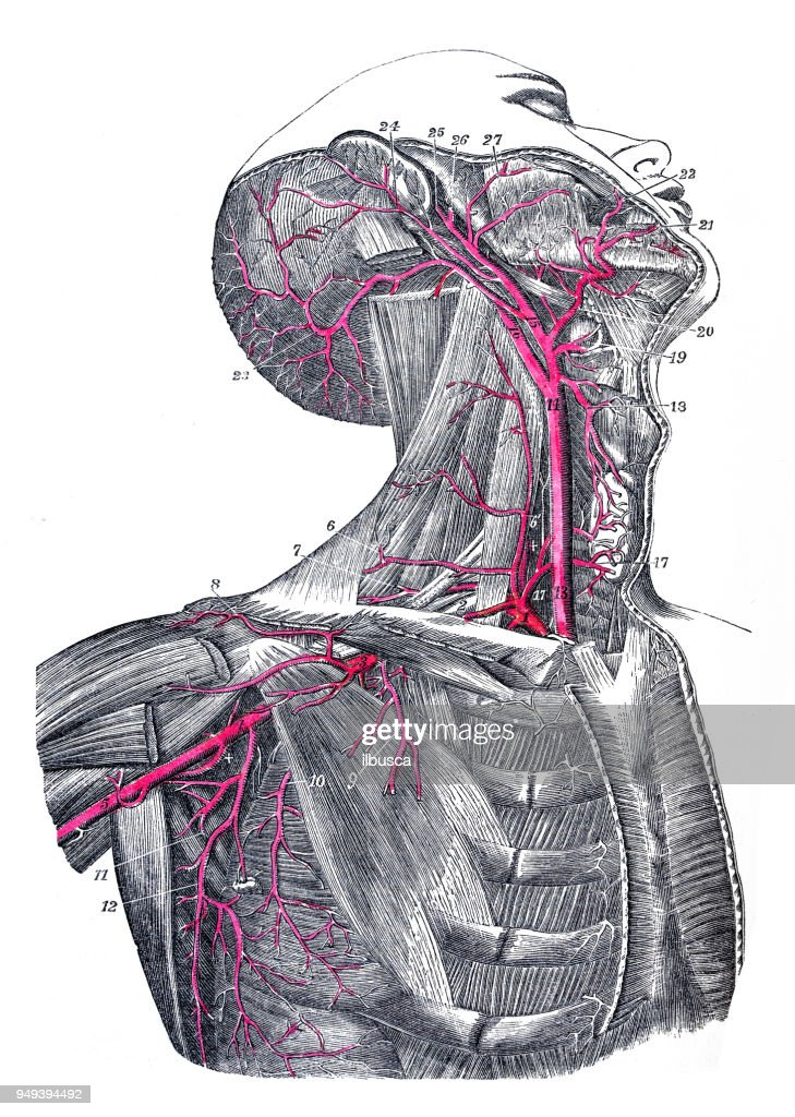 Antique Illustration Of Human Body Anatomy Carotid And Neck Arteries ...