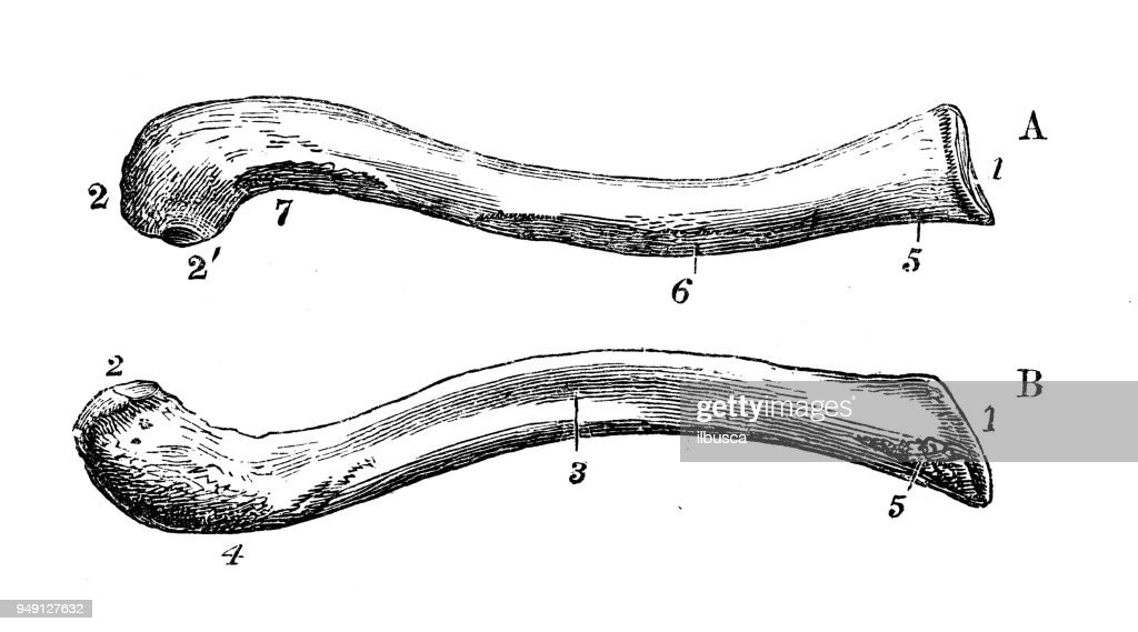 Antique Illustration Of Human Body Anatomy Clavicle Stock