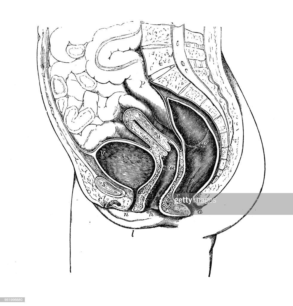 Antique Illustration Of Human Body Anatomy Female Pelvis Stock ...