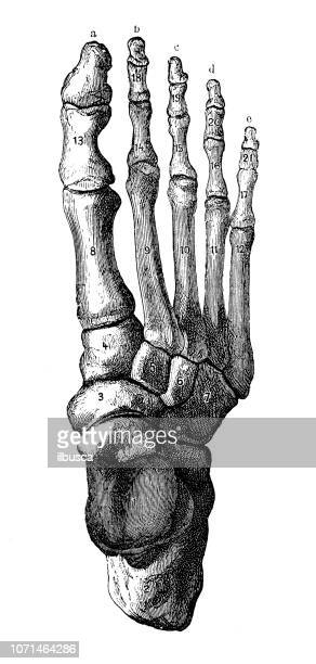 antique illustration of human body anatomy: foot - foot bone stock illustrations