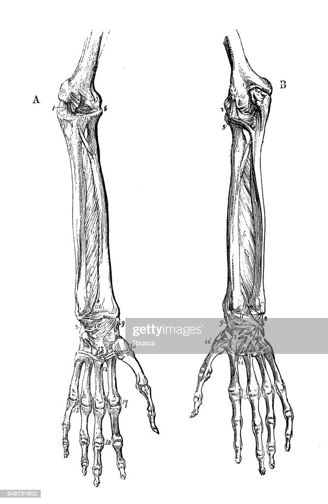 Antique Illustration Of Human Body Anatomy Forearm Stock