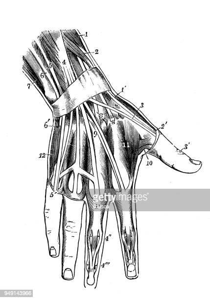 ilustraciones, imágenes clip art, dibujos animados e iconos de stock de antigua ilustración de la anatomía del cuerpo humano: músculos de la mano - miembro parte del cuerpo