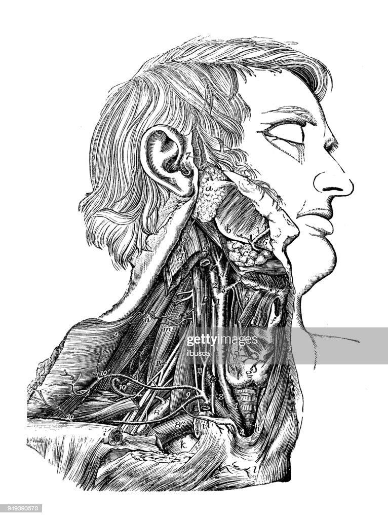 Antike Darstellung Der Anatomie Des Menschlichen Körpers Arterien ...