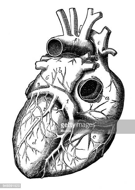 antique illustration of human body anatomy: heart - anatomy stock illustrations