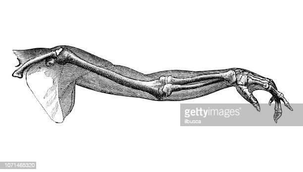 ilustrações, clipart, desenhos animados e ícones de antiga ilustração da anatomia do corpo humano: braço humano - ombro