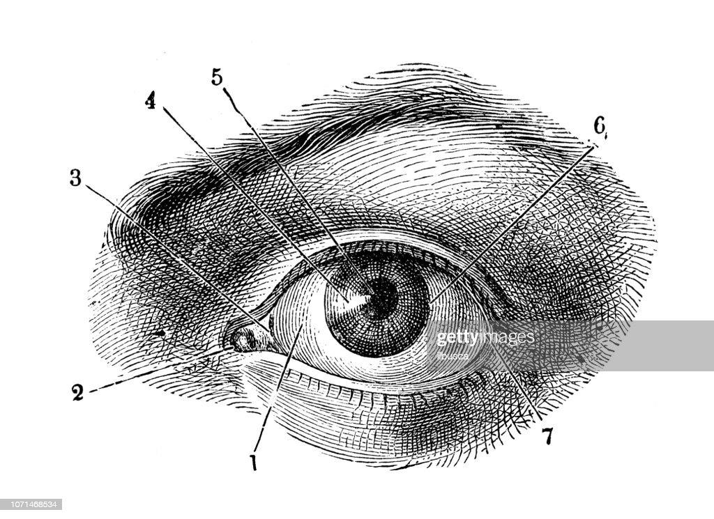 アンティークの人体解剖図: 人間の目 : ストックイラストレーション