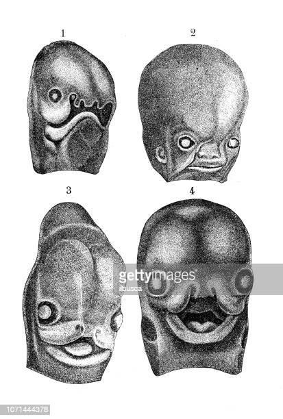 ilustraciones, imágenes clip art, dibujos animados e iconos de stock de antigua ilustración de la anatomía del cuerpo humano: desarrollo del feto de cara humana - feto