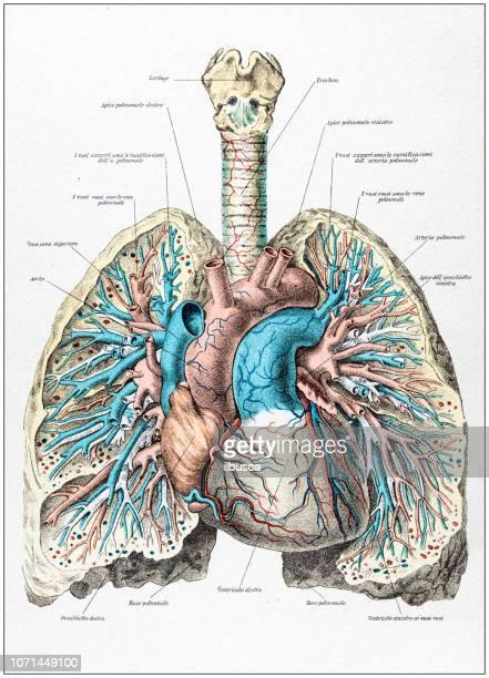 antique illustration of human body anatomy: human lungs and heart - human lung stock illustrations