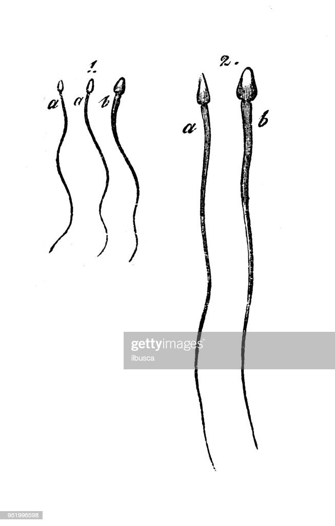 Antique Illustration Of Human Body Anatomy Human Sperm Stock