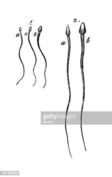 antique illustration of human body anatomy: human sperm - sperm stock illustrations