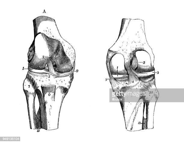 antique illustration of human body anatomy: knee joint - joint body part stock illustrations, clip art, cartoons, & icons