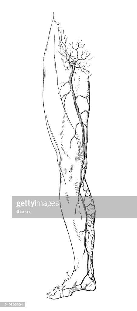 Antique Illustration Of Human Body Anatomy Leg Veins Stock