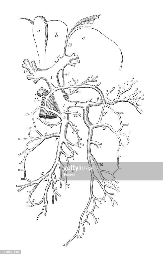 Antique Illustration Of Human Body Anatomy Liver Veins Diagram Stock