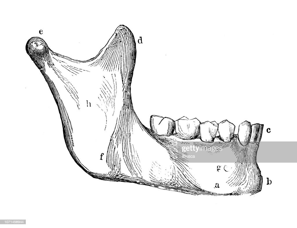 Antique Illustration Of Human Body Anatomy Mandible Lower Jaw Or