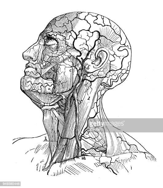 ilustraciones, imágenes clip art, dibujos animados e iconos de stock de antigua ilustración de la anatomía del cuerpo humano: venas de cabeza y cuello - ilustración biomédica
