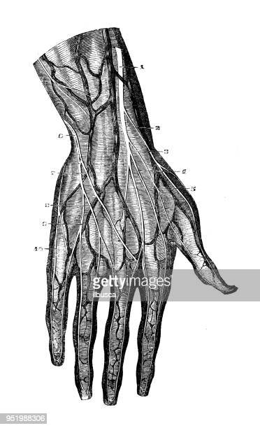 antique illustration of human body anatomy nervous system: arm and hand nerves - human body part stock illustrations