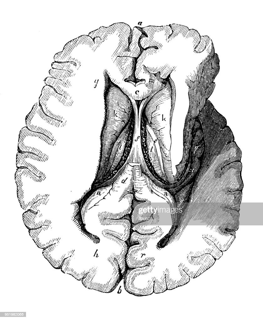 Antique Illustration Of Human Body Anatomy Nervous System Brain