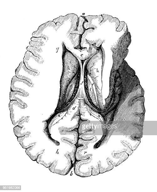 antique illustration of human body anatomy nervous system: brain lateral ventricles - heart ventricle stock illustrations