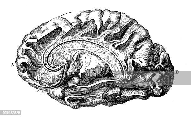 antique illustration of human body anatomy nervous system: gyrus fornicatus and fornix - fornix stock illustrations