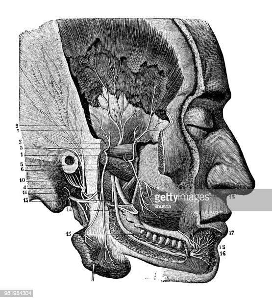ilustraciones, imágenes clip art, dibujos animados e iconos de stock de antigua ilustración del cuerpo humano anatomía del sistema nervioso: los nervios de la mandíbula - ilustración biomédica