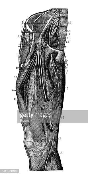 Antique illustration of human body anatomy nervous system: Leg nerves