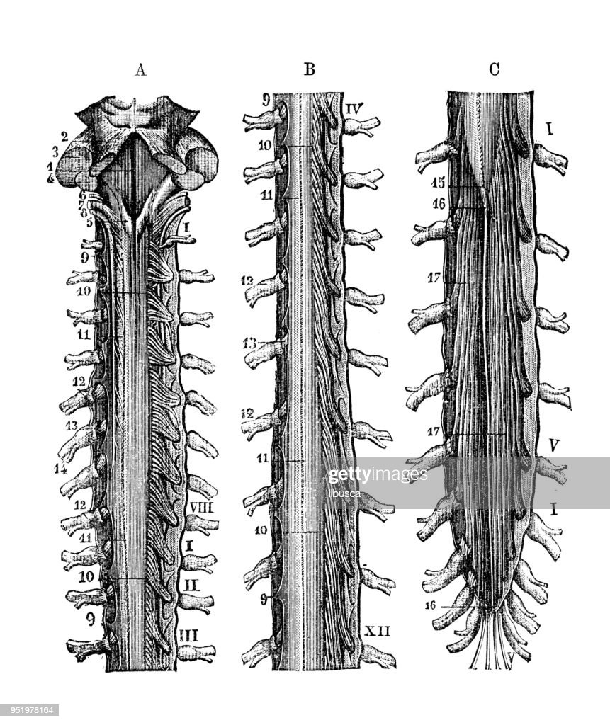 Antique Illustration Of Human Body Anatomy Nervous System Medulla