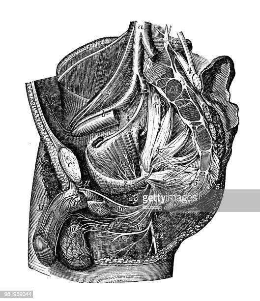 ilustraciones, imágenes clip art, dibujos animados e iconos de stock de antigua ilustración del cuerpo humano anatomía del sistema nervioso: los nervios de la pelvis - penis