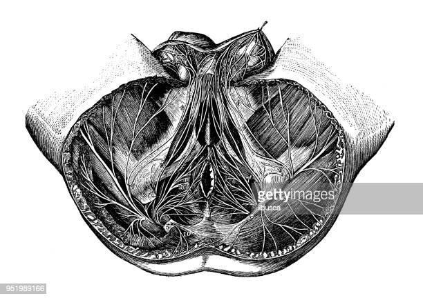 antique illustration of human body anatomy nervous system: pelvis nerves - penis stock illustrations, clip art, cartoons, & icons