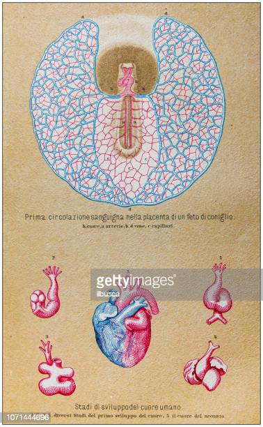 antique illustration of human body anatomy: rabbit placenta and human heart development - placenta stock illustrations, clip art, cartoons, & icons
