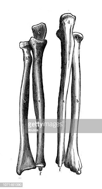 antique illustration of human body anatomy: radius and ulna - forearm stock illustrations, clip art, cartoons, & icons