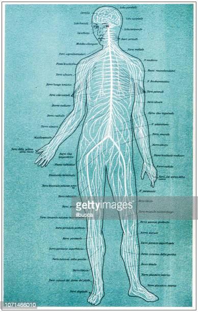 ilustraciones, imágenes clip art, dibujos animados e iconos de stock de antigua ilustración de la anatomía del cuerpo humano: de la médula espinal y los nervios - human body part