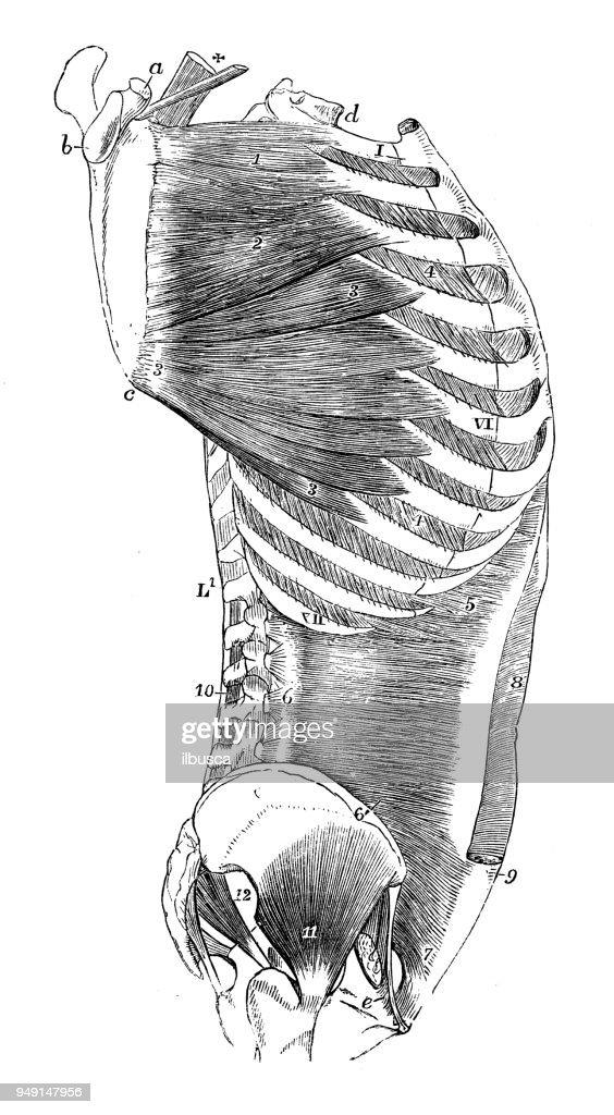 Antique Illustration Of Human Body Anatomy Torso Muscles Stock ...