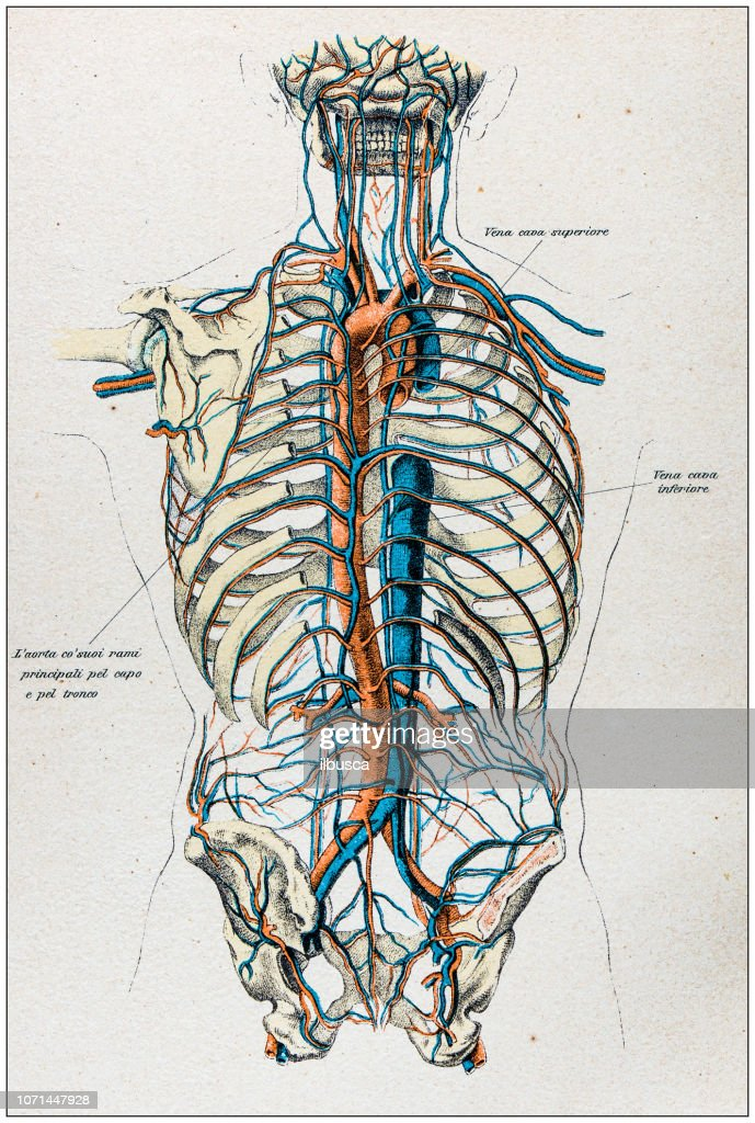 Antique Illustration Of Human Body Anatomy Veins And Arteries Stock