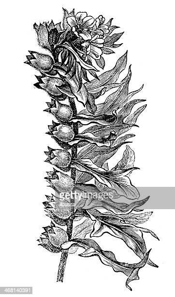 ilustrações, clipart, desenhos animados e ícones de antique ilustração de hyoscyamus níger (henbane, stinking nightshade, black henbane) - níger