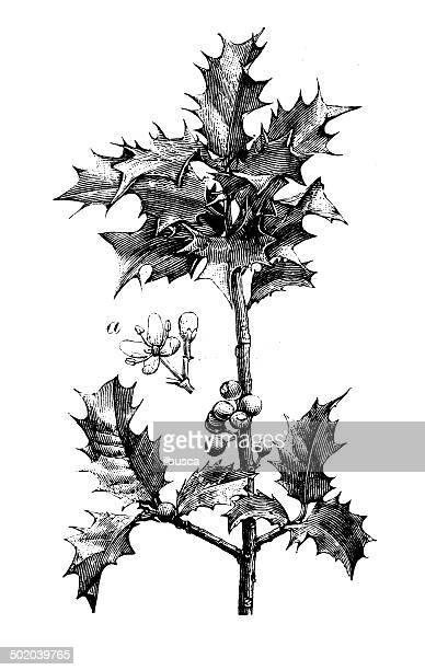 illustrations, cliparts, dessins animés et icônes de ancienne illustration de houx ilex aquifolium () - houx