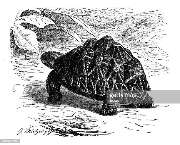 antique illustration of indian star tortoise (geochelone elegans) - caenorhabditis elegans stock illustrations