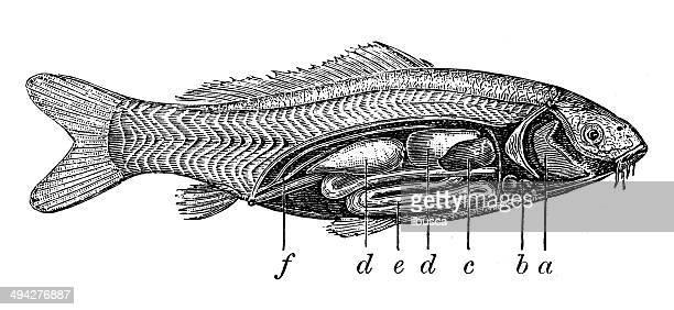 antique illustration of internal anatomy of the carp - animal heart stock illustrations, clip art, cartoons, & icons