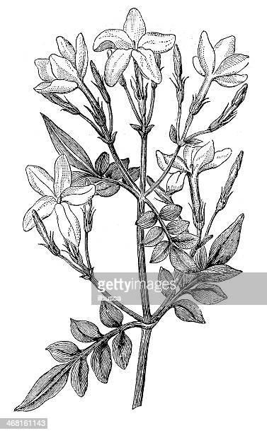 Antique illustration of Jasminum grandiflorum (Spanish jasmine, Royal jasmine)