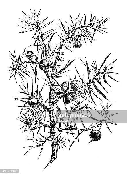 antique illustration of juniper - juniper tree stock illustrations