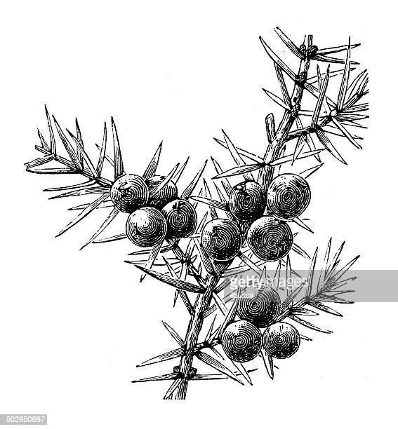 antique illustration of juniperus communis (common juniper) - juniper tree stock illustrations