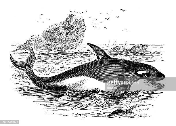 antique illustration of killer whale (orcinus orca) - killer whale stock illustrations, clip art, cartoons, & icons