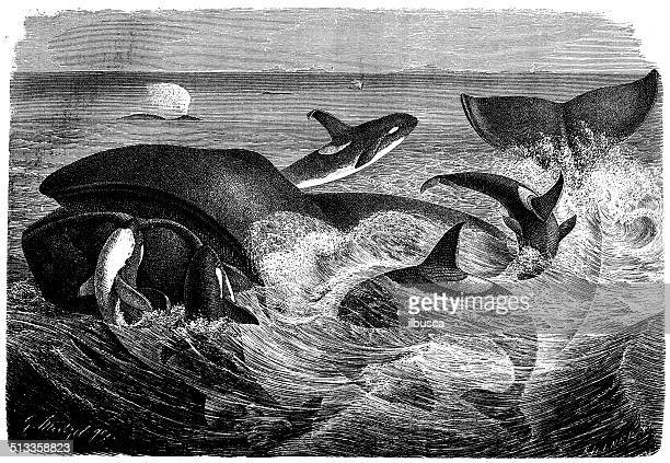 antique illustration of killer whale - killer whale stock illustrations, clip art, cartoons, & icons