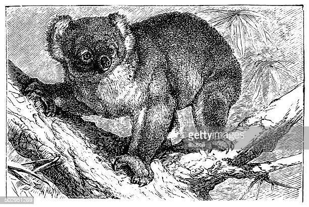 illustrations, cliparts, dessins animés et icônes de ancienne illustration de koala, phascolarctos cinereus) - koala