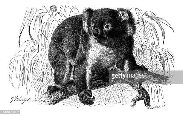 illustrations, cliparts, dessins animés et icônes de ancienne illustration de koala - koala